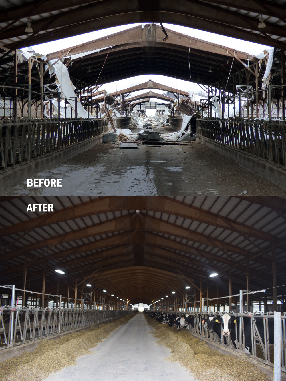 "Two photos taken from inside are side by side, with the top image reading ""BEFORE"" in white letters and the lower image reading ""AFTER"". The top image shows a collapsed roof and severe damage to the barn. The bottom image shows a functional roof and in-use barn with cows."